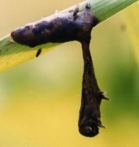 zombie caterpillar liquidy death